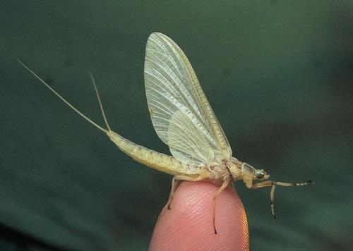Ephemeroptera Subimago © flickr: urtica