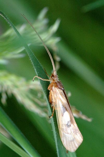 Trichoptera_Caddis_1