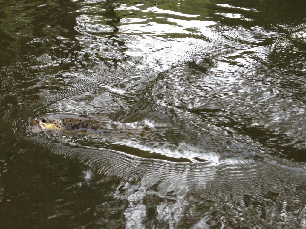 Fliegenfischen Kyll Forelle