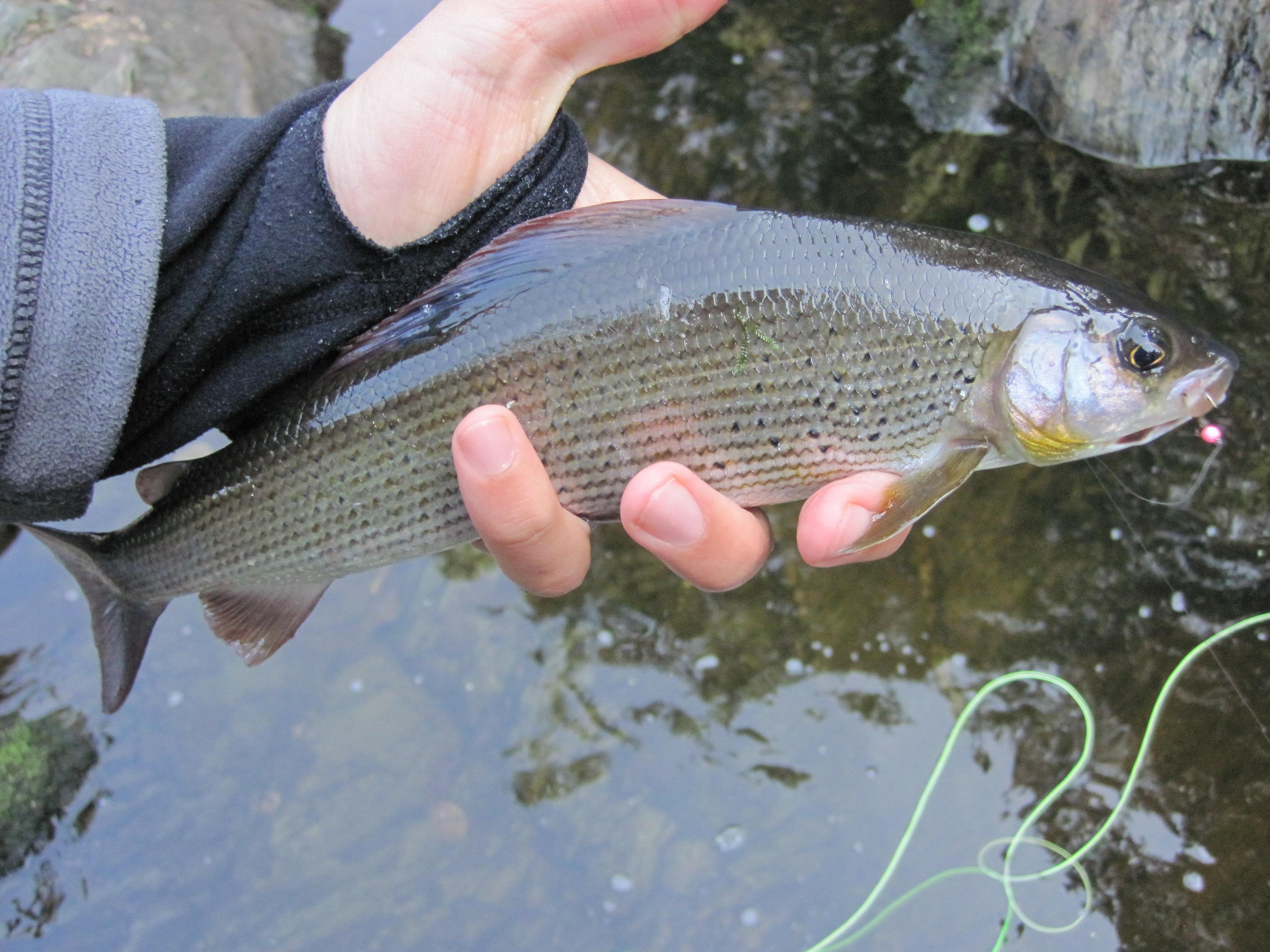 Forelle Äsche Fliegenfischen Rur13