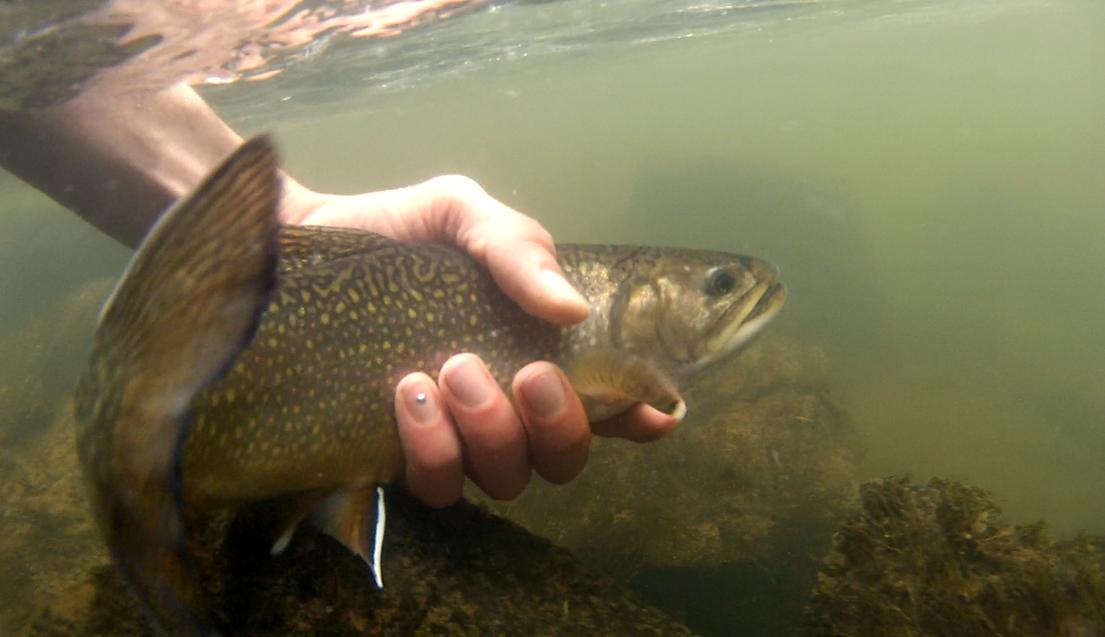 Forelle Äsche Fliegenfischen Urft Saibling u Wasser