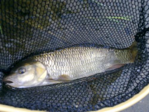 Fliegenfischen Ahr Döbel
