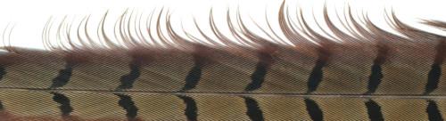 Fliegenbinden Fasanenstoß