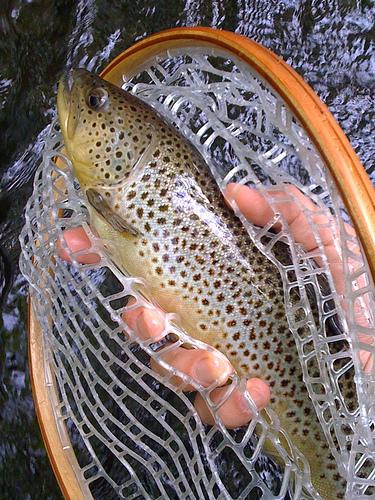Forelle Loch Leven