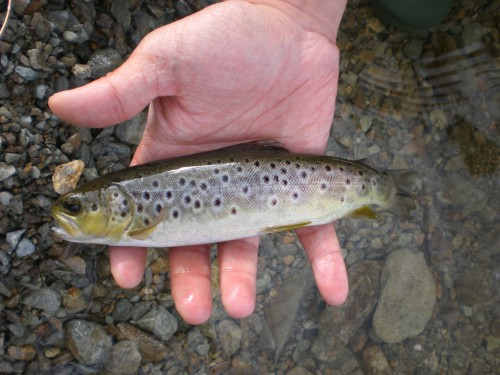Haweswater Trout