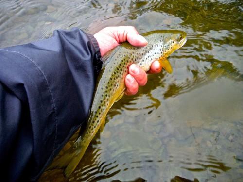 River Annan Forelle1