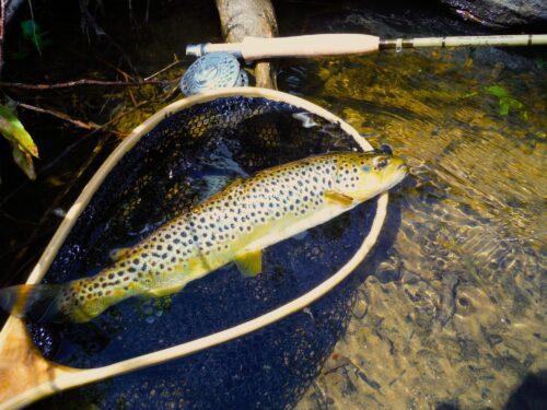 River Wharfe Forelle