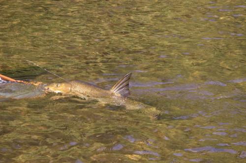 Fiegenfischen_Barbe5