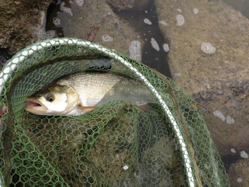 Fliegenfischen Rapfen2