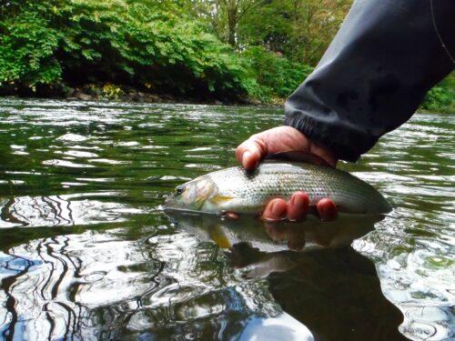 Fliegenfischen_Agger_Aesche