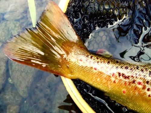 Fliegenfischen_Agger_Forelle