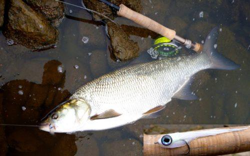 Fliegenfischen_Rapfen_Aspinator3