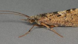 Fliege des Monats: Juli – Sand Fly – Rhyacophila dorsalis