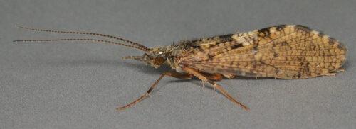 Rhyacophila dorsalis - Sandfly