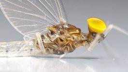 Fliege des Monats: Oktober – Pale Watery – Baetis Fuscatus