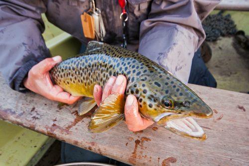 malham_tarn_tankred_rinder_brown_trout1