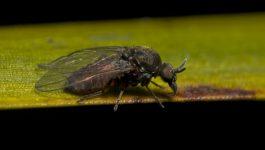 Fliege des Monats: November – Black Flies – Kriebelmücken